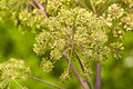 Angelica medicine plant and food Stock Images
