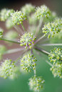 Angelica plan. Close-up Stock Photography