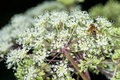 Angelica sylvestris medicinal plant closeup of the bloom with an insect Stock Photo