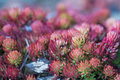 Angelina Sedum Ground Cover in Sunlight Royalty Free Stock Photo