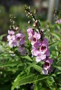 Angelonia angustifolia decorative pink flower grows in the flowerbed Royalty Free Stock Photography