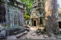 Angkor wat a large jungle tree by the carvings in the temple at ta prohm in siem reap cambodia Stock Photography