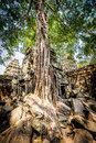 Angkor wat a large jungle tree covering the buildings of the temple of ta prohm in siem reap cambodia Royalty Free Stock Photos