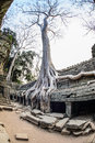 Angkor wat a large jungle tree covering the stones of the temple of ta prohm in siem reap cambodia Stock Images