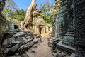 Angkor wat a large jungle tree growing between the stones of the temple of ta prohm in siem reap cambodia Royalty Free Stock Image
