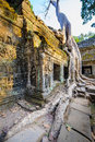 Angkor wat a large jungle tree next to the carvings in the temple at ta prohm in siem reap cambodia Stock Photography