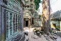 Angkor wat a large jungle tree next to the carvings in the temple at ta prohm in siem reap cambodia landscape Royalty Free Stock Photography