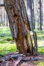 Angled dead dry pine tree bark falling down on mossy ground in amazing evergreen forest Royalty Free Stock Photo
