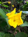 Angled loofah flower the image of the and its leaves Royalty Free Stock Images
