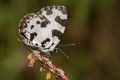 Angled Pierrot Butterfly Royalty Free Stock Photo