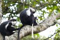 Angola colobus (Colobus angolensis) Royalty Free Stock Photos