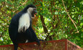 Angolan colobus, Diani, Kenya Royalty Free Stock Photo