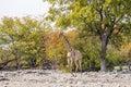 Angolan giraffe in the autumn bush Royalty Free Stock Photo