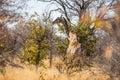 Angolan giraffe in the bushveld of Etosha Royalty Free Stock Photo