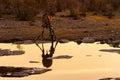 Angolan giraffe drinking at sunset Royalty Free Stock Photo