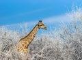 Angolan giraffe Giraffa camelopardalis among winter trees Royalty Free Stock Photo