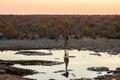 Angolan giraffe at sunset at waterhole Royalty Free Stock Photo