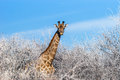 Angolan giraffe among winter trees Royalty Free Stock Photo