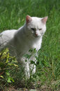 Angora cat portrait of a white sitting outdoors Royalty Free Stock Image