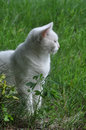 Angora cat profile portrait of a white sitting outdoors Royalty Free Stock Images
