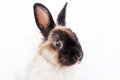 Angora Dwarf Rabbit Stock Images