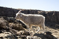 Angora Goat Is Feeding In The ...