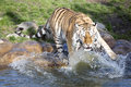 Angry amur tiger panthera tigris altaica beating paws into the water one Stock Photo