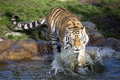 Angry amur tiger panthera tigris altaica beating paws into the water one Stock Image