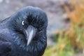 Angry australian raven with an expression latin corvus coronoides Royalty Free Stock Photos