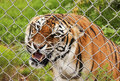 An Angry Bengal Tiger in a Zoo Cage Royalty Free Stock Photo