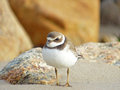 Angry bird full length portrait of a semipalmated plover at the shore looking Stock Image
