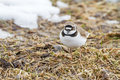 Angry bird little ringed plover an adult is looking as it was still snow on its breeding grounds in late april lithuania Stock Photo