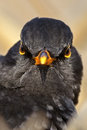 Angry bird look close up head portrait of the common blackbird Royalty Free Stock Images
