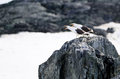 Angry birds in antarctica on rock Stock Images