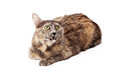 Angry calico cat laying down Stock Images