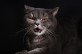 Angry cat Royalty Free Stock Photo