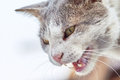 Angry cat hissing Royalty Free Stock Photo