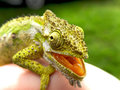 Angry chameleon a close up view of a southern dwarf opening its mouth in an anger display Stock Photo