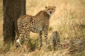 Angry cheetah with cubs Royalty Free Stock Photo