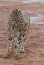 Angry cheetah Royalty Free Stock Photo