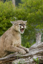 Angry cougar shows his unhappiness with an snarl Royalty Free Stock Images