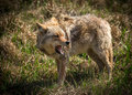 Angry coyote with open mouth a vicious and looking north american canis latrans close up Royalty Free Stock Photos
