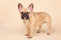 Angry french bulldog standing in studio on blue background Stock Images