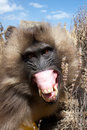 Angry gelada baboon close up of ethiopian Royalty Free Stock Photo