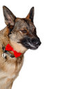 Angry german shepherd dog on a white background Stock Image