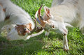 Angry goats fighting on a sunny day Royalty Free Stock Photo