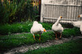 Angry goose walking in the village on the lawn Royalty Free Stock Photo