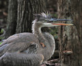 Angry Great Blue Heron in profile Royalty Free Stock Photo
