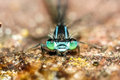 Angry green damselfly close up of the head of a lying on the floor Royalty Free Stock Images