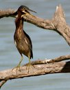 Angry green heron butorides virescens a with neck extended perched on a fallen log in mazatlan mexico Royalty Free Stock Image